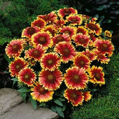 200X Gaillardia Aristata Seeds Blanket Flower Pulchella Perennial Heirloom Supre