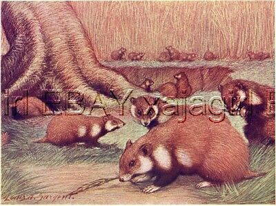 Hamster 100+ Year-old Antique Print by Louis Sargent