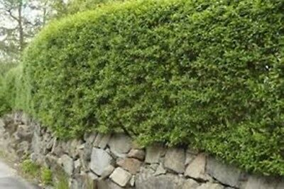 8 sizes of Green Privet evergreen hedge plants hedging plant packs of 10 to 150