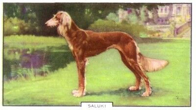 DOG Saluki Gazelle Hound, Colorful Trading Card, 1930s