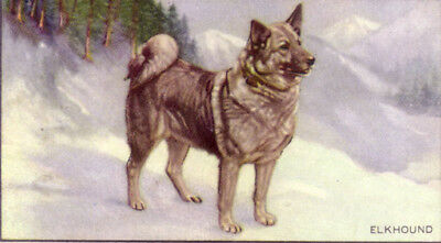 DOG Norwegian Elkhound, 70-year-old Trading Card, 1930s