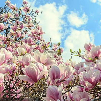1020 Pcs Magnolia Seeds Magnolia Tree Seeds Magnolia Flowers Home
