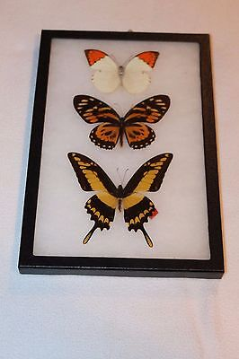 3 Real Framed Butterfly In Black Case Very Nice