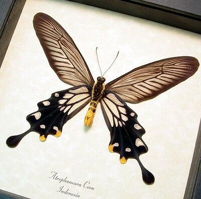 Real Framed Atrophaneura Coon Verso The Common Clubtail Butterfly 266V