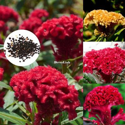 50pcs Cresta di gallo Celosia Crested Seeds Large Bloom Home Garden DL0