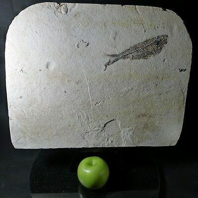 "Fossil Fish - Knightia - 18"" Layer"