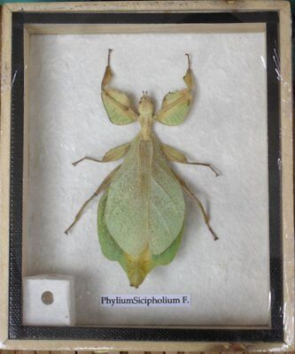 Real Exotic Giant Leaf Insect Phyllium giganteum Green in Framed