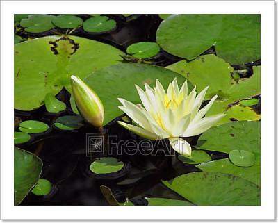 Water Lily Art Print Home Decor Wall Art Poster - E