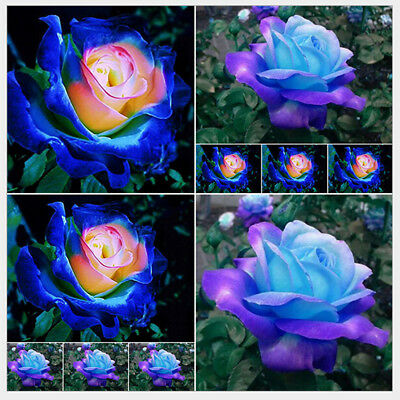 50Pcs/Bag Colorful Rainbow Rose Flower Seed Yard Garden Planting Seeds Plants