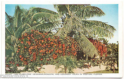 AK US USA Post The Card Flame Vine and Cocoanut Palms in Florida ungelaufen