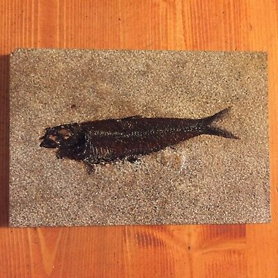 Very Nice Dark Knightia Fossil Fish Green River Formation 18 Inch Layer Wyoming