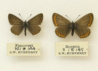 Brown Argus - Pair From 1944 & 1945 -  British Butterfly