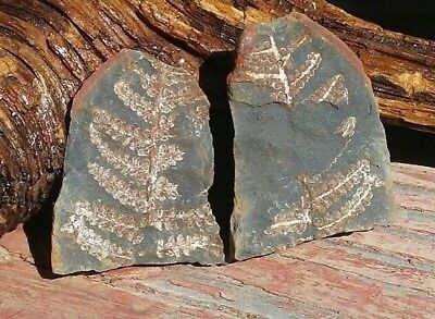 Natural Tree Fern Fossil Frond Pair in Shale Stone 38.8g. from Missouri USA!