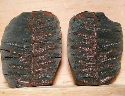 Natural Tree Fern Frond Fossil Pair in Shale Stone from Carboniferous Period!