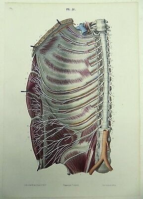 1853 Hirschfeld ANATOMY Nerfs Intercostaux handcolor fine MEDICAL ILLUSTRATION