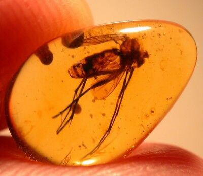 Large Mycetophilid Fly with Bivalve in Burmite Amber Fossil from Dinosaur Age