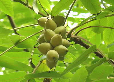 Asian Walnut Tree, JUGLANS MANDSCHURICA, edible fruit, large leaves, rare, hardy