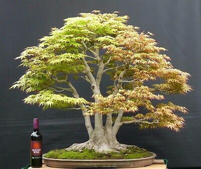 Acer Palmatum Bonsai Tree 750000 Picclick Uk