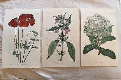 Lot Of 3 Antique Hand-colored 200+ Yrs Old Botanical Book Prints