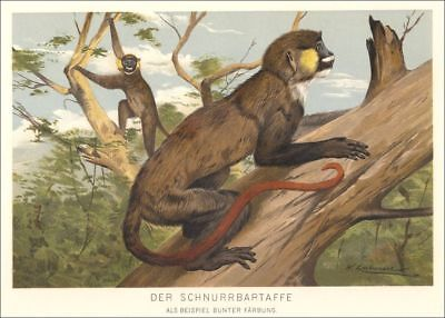 Chromo-Lithographie 1893, Schnurrbartaffe, Affe, monkey, scimmia aap Animal /-2