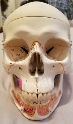 3B Scientific A22 Classic Human Skull Model, with Opened Lower Jaw, 3 part