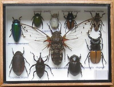 10 Real Bug Rare Insect Display Beetle Taxidermy Insects in Wood Box Collectible