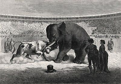 Animal Cruelty Elephant Vs Bull Fight, 1870s Antique Engraving Print & Article
