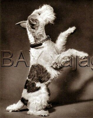 DOG Fox Terrier (Wire) Begging, Quality Vintage 1941 Print