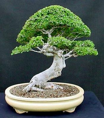 Zelkova Serrata Japanese Elm Related To Ulmus Americana American Elm 25 Seeds 1 20 Picclick Uk