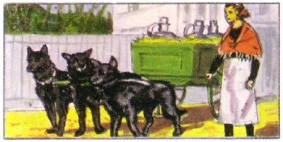 DOG Belgian Sheepdog Belgian Shepherd Cart Dog, 1970 Trading Card 40+ Years Old