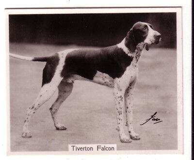 DOG English Pointer Named Champ, Large Photo Trading Card, 1938