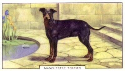DOG Manchester Terrier, Colorful Trading Card, 1930s