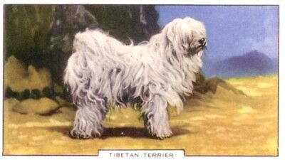 DOG Tibetan Terrier, Colorful Trading Card, 1930s