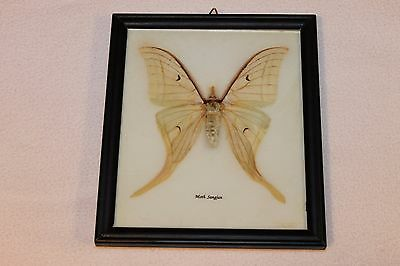 Very Rare Sangjan Moth Mounted In Frame - Moth - Butterfly Collector's