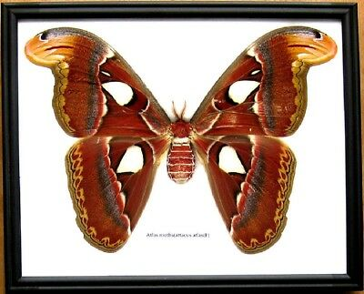 Real Beetle Giant Atlas Moth F Butterfly Insect Display Bug Taxidermy in Frame