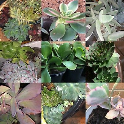 SUCCULENTS Mixed succulent plant x10 Cuttings