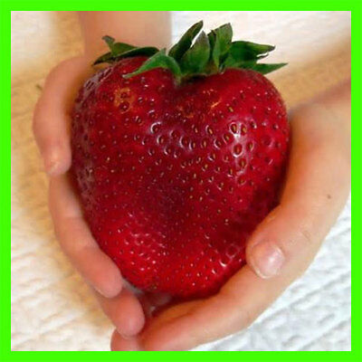 Egrow 100Pcs Giant Red Strawberry Seeds Heirloom Super Japan Strawberry Garden