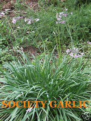 5 X SOCIETY GARLIC - Tulbagia violacea Dry Hardy Great For Ornamental Borders!
