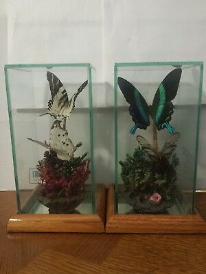 2 Butterfly Mounted Taxidermy Set Collection Display Case Glass Framed Wood Box