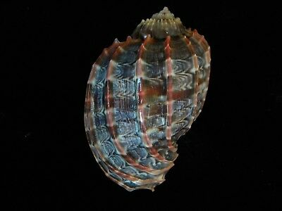 Sea Shell Harpa cabriti 85.8mm ID#3998C