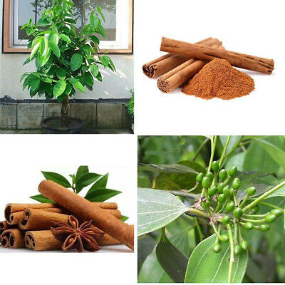World Best Cinnamon/ Rare Ceylon Organic Cinnamon 5 Seeds/Very Fresh Germinated