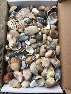 Seashell And Stones Mix For Decoration 1.45 kg Craft Home Decor