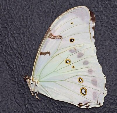 One Real Butterfly White Morpho Luna Unmounted Wings Closed A1+ Fresh Mexico
