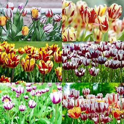 Tulips Rembrandt Mixed Tulip Bulbs Border Spring Flowering Bulbs Plant Perennial