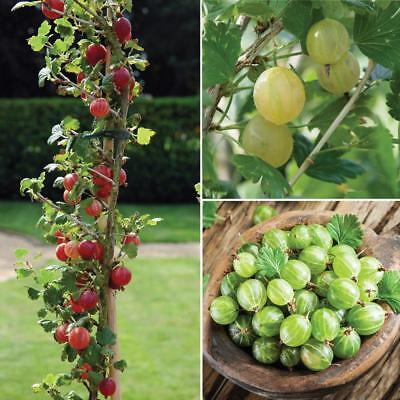 Gooseberry Hardy Fruit Shrub Garden Plant  5 Finest seeds