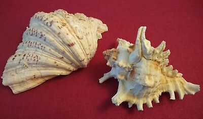 ⭐ 2 x Large Beautiful Collectable Seashells Coral  (beach ocean conch clam) ⭐