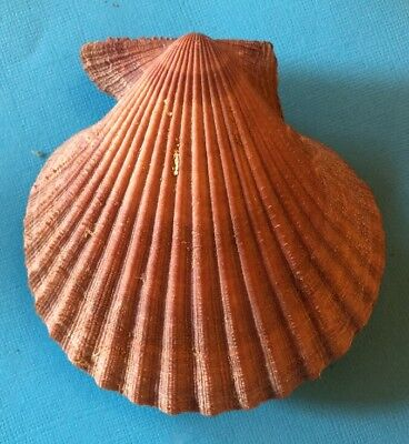 Chlamys scabricostata BROWN 91mm Clam Shell Scallop Collector Seashell