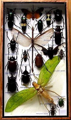 19 Real Rare Beetle Boxed Insect Display Bug Taxidermy Entomology Zoology