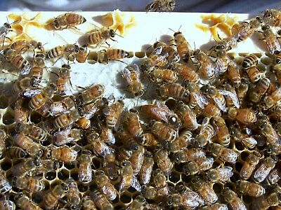 Queen Bee marked and mated already laying.