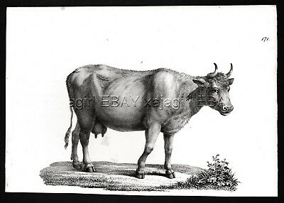 Cow Female Domestic, Antique 1842 Engraving Print (170+ Years Old)